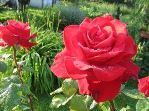 Dbanie o róże latem