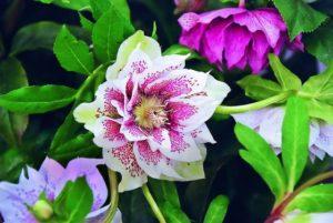 Cykl Ogrodnika – Rośliny, które kwitną zimą.
