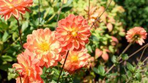 Cykl ogrodnika – Dzielimy i sadzimy dalie