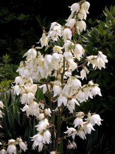 Juka ogrodowa – Jak ją pielęgnować i uprawiać?