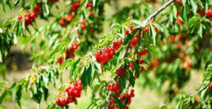 Jak chronić owoce na drzewach przed ptakami?