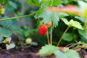 Truskawki i poziomki – sadzenie ich wiosną