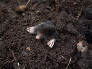 Kret w ogrodzie – jak pozbyć się nachalnego gościa?