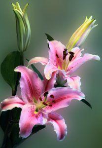 Wszystko, co powinieneś wiedzieć o liliach