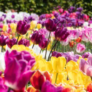 Rośliny cebulowe- czerwcowe zabiegi