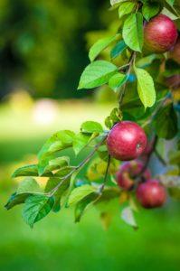 Parch jabłoni i gruszy – jak sobie z nim poradzić?