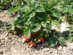 Gdy zbierzemy wszystkie truskawki – pielęgnacja krzewów po zbiorach