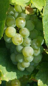 Uprawa winorośli od A do Z