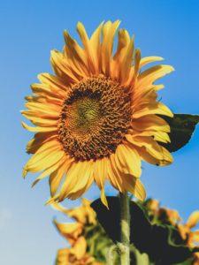 Wszystko, co powinieneś wiedzieć o słonecznikach
