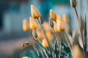 Sadzimy rośliny cebulowe kwitnące wiosną