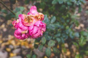 Przekwitłe kwiaty – co należy z nimi zrobić?
