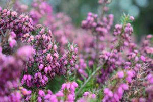 Wrzosy w ogrodzie: sadzenie i pielęgnacja
