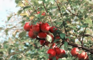 Ogród owocowy – czas na zbiory!