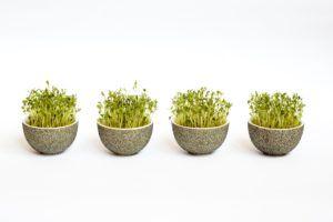 Kiełki – dlaczego warto je hodować?