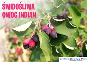 Świdośliwa – owoc Indian