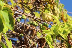 Mini kiwi – Aktinidia