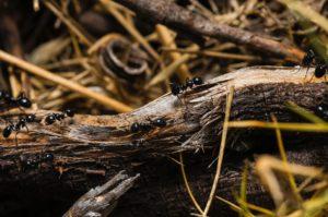 Zwalczanie mrówek w ogrodzie
