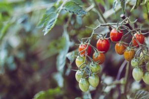 Nawożenie pomidorów