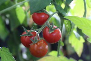 Gdy zachoruje pomidor