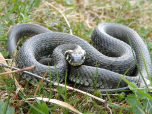 Wąż w ogródku