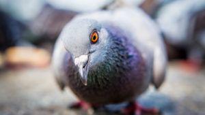 Układ Oddechowy Gołębi