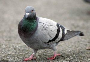 Okres pierzeniowy u gołębi
