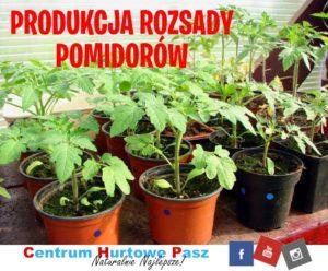 Rozsada pomidorów