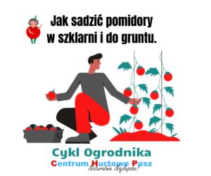 Jak sadzić pomidory w szklarni i do gruntu?