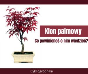 Klon palmowy